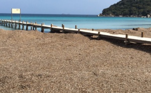 Posidonie à Santa Giulia - Photo Corse matin